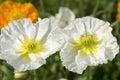 Two white poppies Royalty Free Stock Photo
