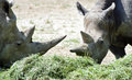 Two White Rhinoceros Royalty Free Stock Photography