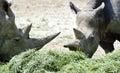 Two White Rhinoceros