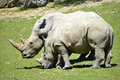 Two white rhinoceros in grass
