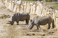 Two white rhinoceros in the wild Royalty Free Stock Photo