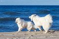 Two white Samoyed dog playing on the beach by the sea Royalty Free Stock Photo