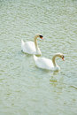 Two white swan Royalty Free Stock Images