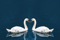 Two white swan in love forming Stock Photo