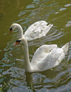 Two white swans on a lake Stock Image