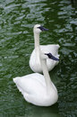 Two white swans in a pond close up Royalty Free Stock Photo