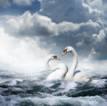 Two White Swans