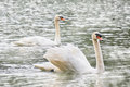 Two white swans swimming in the lake in PangUng, Maehongsorn, Thailand. Mist above the water Royalty Free Stock Photo