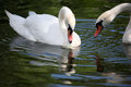 Two white swans swimming Royalty Free Stock Photo