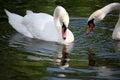 Two white swans swimming Royalty Free Stock Photo