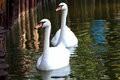 Two white swans swimming in the pond Royalty Free Stock Photo