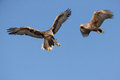 Two white-tailed eagles Royalty Free Stock Photo