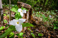 Two white trilliums horizontal growing on the forest floor trillium grandiflorum is the official emblem of the province of ontario Stock Photography