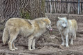 Two white wolf in a zoo of berlin Royalty Free Stock Photography