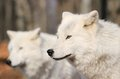 Two whites wolfs in nature Royalty Free Stock Photo