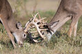 Two whitetail bucks fighting Royalty Free Stock Photo