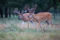 Two whitetail bucks in velvet looking for food Royalty Free Stock Photos