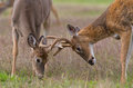 Two whitetail deer bucks with antlers locked in combat Royalty Free Stock Photos