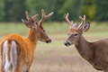 Two whitetail deer bucks approach each other in an open field Stock Photography