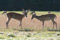 Two Whitetail Deer Bucks Royalty Free Stock Photo