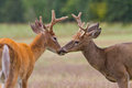 Two whitetail deer bucks touching noses in an open field Stock Photo