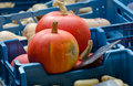Two whole pumpkins at  market of Brugge. Belgium Royalty Free Stock Photo