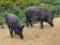 Two wild boars sniffing close view of or pigs sus scrofa standing on yellow straw and for food in foreground green plants can Royalty Free Stock Photography