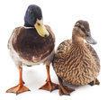 Two wild ducks. Royalty Free Stock Photo