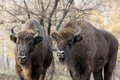 Two wild european bison bison bonasus in autumn deciduous fore or wisent forest Stock Image