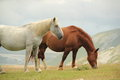 Two wild horses white and brown eating grass in campo imperatore italy Royalty Free Stock Image