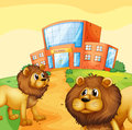 Two wild lions in front of a school building Royalty Free Stock Photo