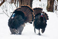 Two wild male turkeys strut through the woods one has a very blue head while the other has very red caruncles Royalty Free Stock Photo
