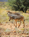 Two wild small zebras foals in afrian bush Stock Photography