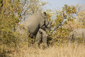 Two wild white rhinoceros mating in the bush, in Kruger Park