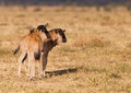 Two Wildebeest youngsters Stock Images