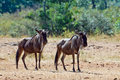 Two wildebeests are in the savannah Royalty Free Stock Images