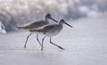 Two willets in the surf on beach Royalty Free Stock Photo