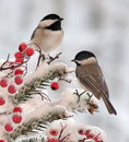 Two Winter Black- capped Chickadees Royalty Free Stock Photo