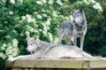 Two wolves a pair of looking alert and dangerous Royalty Free Stock Photo