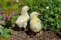 Two yellow chickens little searching for food in the garden Royalty Free Stock Images