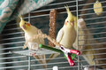 Two yellow cockatiel parrots in a cage Stock Photo