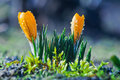 Two yellow crocuses in drops of water on a blue background Royalty Free Stock Photo