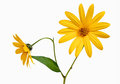 Two yellow daisy Stock Image
