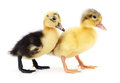 Two yellow ducklings. Royalty Free Stock Photo