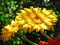 Two yellow gerbers flowers and Shade strips Royalty Free Stock Photo