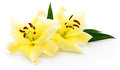 Two yellow lilies. Royalty Free Stock Photo