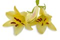 Two yellow lily on white background Stock Images
