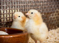 Two yellow little chicks Royalty Free Stock Photo