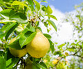 Two yellow pears on a branch with green leafs on the background Royalty Free Stock Photo