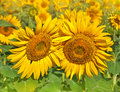 Two yellow sunflower with green leaves Royalty Free Stock Photos
